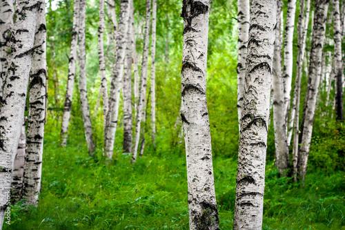 Fotografie, Obraz Spring birch grove