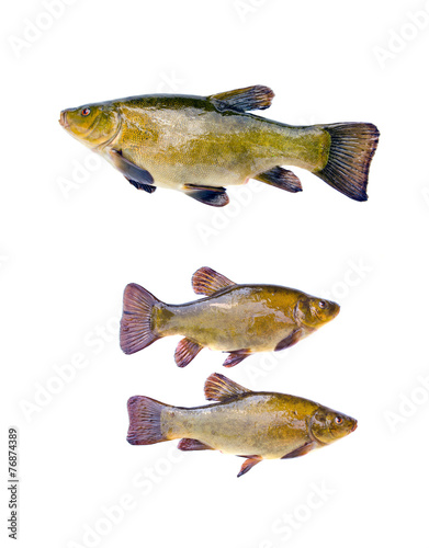 Valokuva  three big fish tench isolated on white background