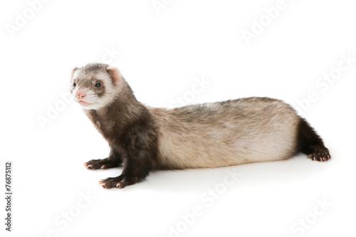 Fotografering  Ferret  isolated