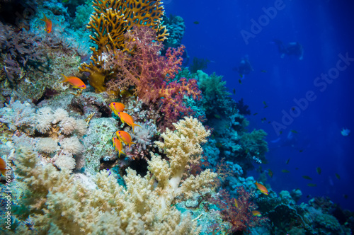 Staande foto Koraalriffen Tropical Anthias fish with net fire corals