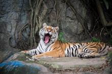 The Sleepy Tiger