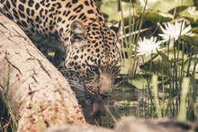 Headshot Of Leopard Drinking F...