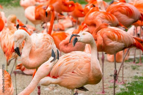 Garden Poster Flamingo Flamingos birds