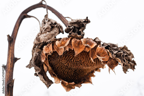 Fotografía  Withered sunflower head in winter