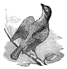 Victorian Engraving Of A Cowbird.