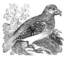 Victorian Engraving Of A Crossbill Bird.