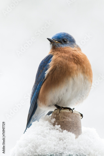 Valokuva  Eastern bluebird perched in the snow