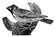 Victorian Engraving Of A Grosb...