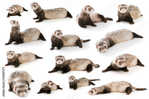 Fotografering Set ferret  isolated