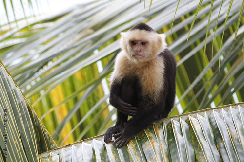 White-headed Capuchin Monkey Sitting in a Palm Tree Wallpaper Mural