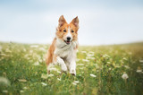 Fototapeta Dogs - Red border collie dog running in a meadow