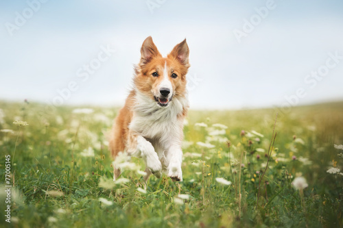 Red border collie dog running in a meadow Poster