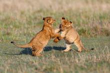 Playing Lion Cubs In Masai Mara