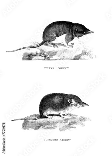 Fotografie, Obraz  Victorian engraving of a shrew.