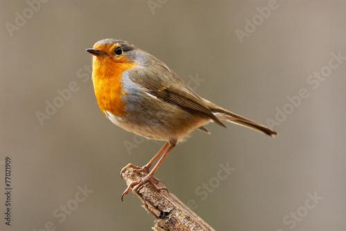 Photo  European Robin