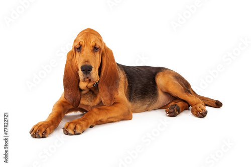 Adorable Large Bloodhound Puppy Fototapet