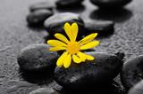 gerbera with wet stones on wet background