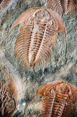 Photo sur Toile Les Textures fossil trilobit