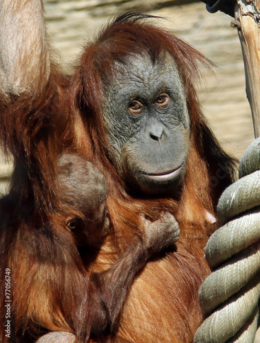 Deurstickers Aap Female of Sumatran orangutan (Pongo abelii) with a baby
