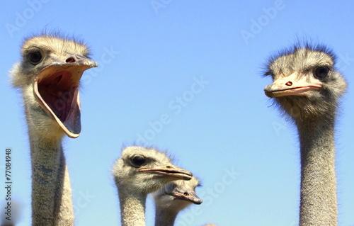 Staande foto Struisvogel Straußenfarm in Südafrika