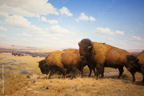 Photo Stands Bison herd of bison