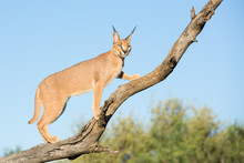 A Young Caracal In A Tree, Sou...
