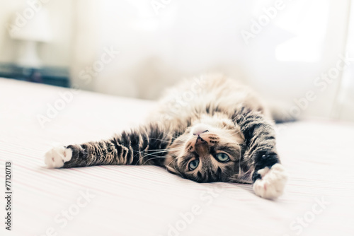 Grey cat lying on bed and stretching Wallpaper Mural