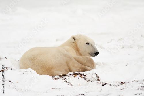 Foto op Plexiglas Arctica Polar Bear Lying Down in Snow