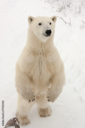 Papiers peints Ours Blanc Adult Polar Bear Standing on Hind Legs