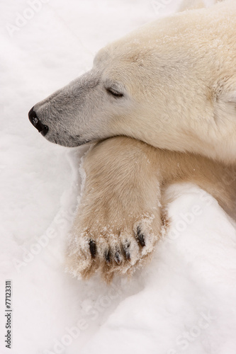 Adult Polar Bear with Head Resting on Paw