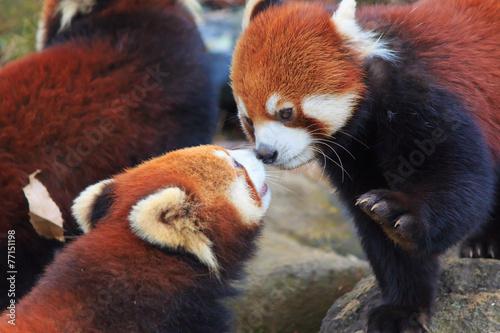 Red Panda Wallpaper Mural