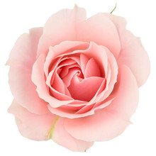 Pink Rose Close Up, Isolated On White