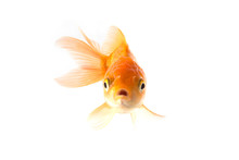 Golden Koi Fish Scared Isolate...