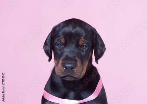 Photo Close up Portrait of Puppy with pink belt  on pink background