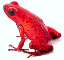 Red Poison Arrow Frog