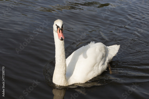 Poster Cygne white swan floating on the water from the front