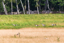 Curlews Flying