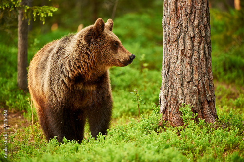 Brown Bear in the forest Canvas Print