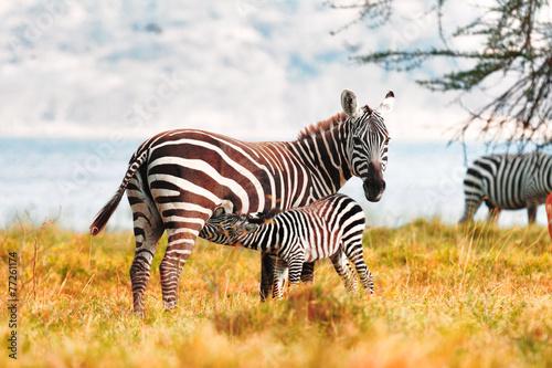 fototapeta na lodówkę Zebra i źrebię
