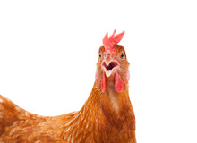 Head Of Chicken Hen Shock And ...