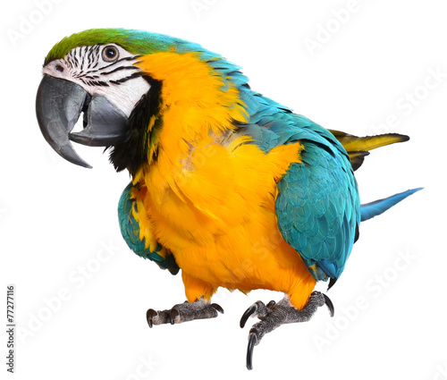 Foto op Plexiglas Papegaai Blue and Gold Macaw