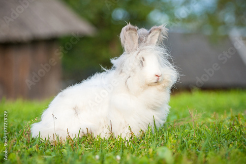 Beautiful fluffy white angora rabbit sitting outdoors in summer Wallpaper Mural