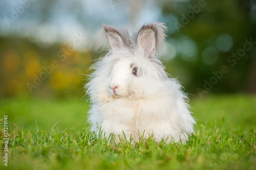 Photo Beautiful fluffy white angora rabbit sitting outdoors in summer