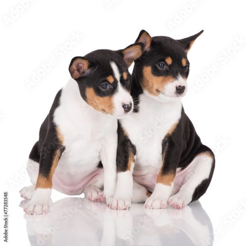 Two Tricolor Basenji Puppies Buy This Stock Photo And