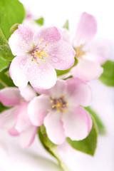 Obraz apple flowers branch