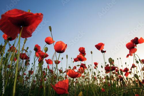 In de dag Poppy Poppies