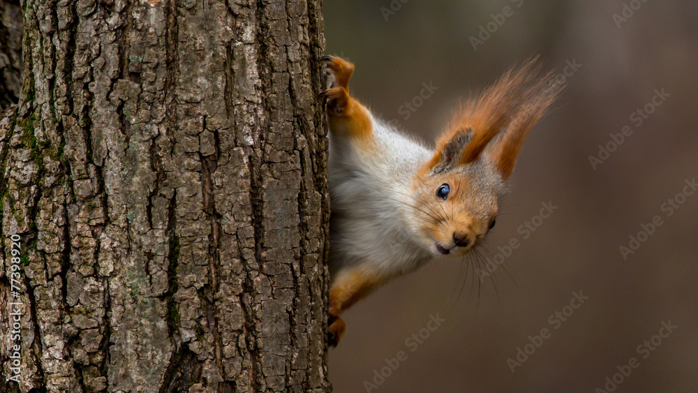 Surprised squirrel, peeking from behind a tree