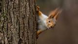 Fototapeta Zwierzęta - Surprised  squirrel, peeking from behind a tree