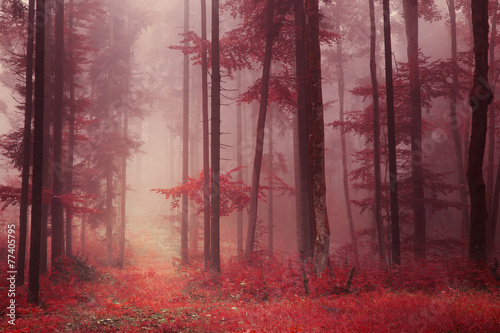 Fototapeta Red colored foggy forest