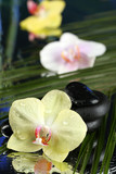 Fototapeta Kuchnia - Orchid flowers with water drops and pebble stones
